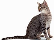 埃及猫神情呆愣可爱图片