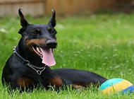 威猛高大的德国杜宾犬图片