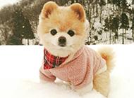 雪地上的俊介犬图片