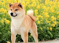 最漂亮日本柴犬图片欣赏