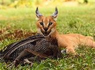 狞猫霸气凶猛捕食图片