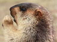 宠物土拨鼠头部特写图片