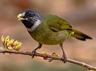 野生鸟类领雀嘴鹎摄影图片