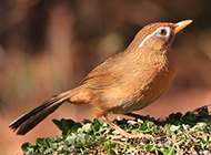 最新精品画眉鸟图片欣赏