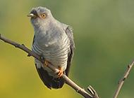 树枝上的布谷鸟幼鸟图片