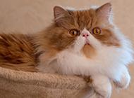 招人喜欢的宠物波斯猫图片