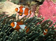 小丑鱼珊瑚海洋动植物图片