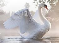 展翅欲飞的大白天鹅图片