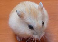 圆滚滚的白布丁仓鼠图片