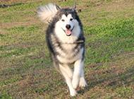 大型犬类阿拉斯加犬的图片大全