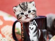 超Q的萌萌茶杯猫图片