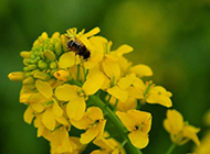 秋季油菜花浪漫开黄花的植物图片