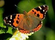 花丛中飞舞的蝴蝶图片