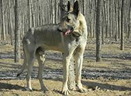 高大的东北狼青犬树林休息图片