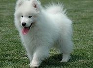 美版萨摩耶犬幼犬调皮吐舌图片