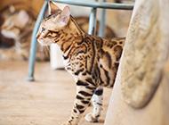 家养豹猫唯美写真图片大全