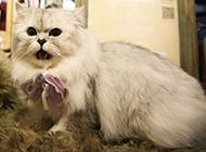 顽皮爱闹的金吉拉猫图片
