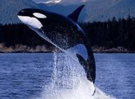 身形巨大的虎鲸鱼图片