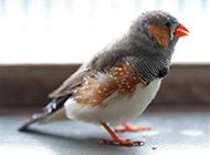 小珍珠鸟羽毛丰满图片