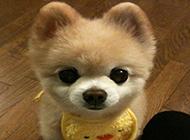美式博美俊介犬小时候图片