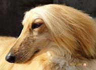 阿富汗猎犬头部特写图片大全