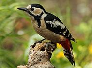 中国啄木鸟图片壁纸精选