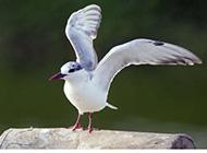 海面翱翔的美丽海鸥摄影图片