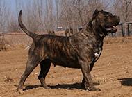虎斑加纳利犬率性霸气图片