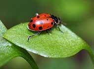 七星瓢虫唯美高清图片欣赏