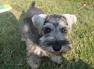 小型雪纳瑞犬精力充沛图片