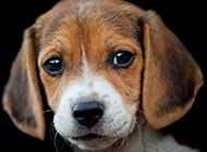 可爱迷人的比格犬宠物图片