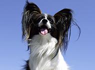 漂亮的宠物狗蝴蝶犬图片