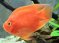 红财神鹦鹉鱼游来游去图片