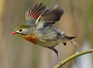 展翅飞翔的红嘴相思鸟图片
