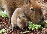 可爱的水豚野外自然生态高清图片