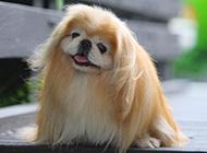 可爱小京巴犬歪头撒娇图片