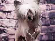 中国冠毛犬温顺个性图片