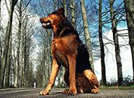 忠诚勇敢的德国狼犬图片