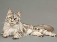 姿态优雅的缅因猫图片