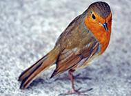 知更鸟可爱活泼的图片