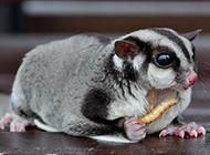 小飞鼠宝宝吃虫子图片