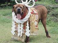 日本土佐犬霸气凶猛特写图片