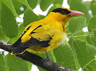 羽翼艳丽的黄鹂鸟图片