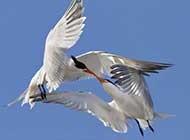 飞翔在浩瀚蓝天的燕鸥组图