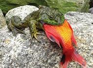 这只青蛙的胃口大着呢