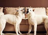 日本白色秋田犬呲牙咧嘴图片
