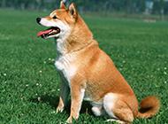 最新萌宠柴犬高清壁纸图片