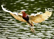 中国鸟类动物池鹭摄影图片