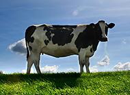 可爱的奶牛草原高清抓拍图片