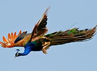 自由飞翔的孔雀